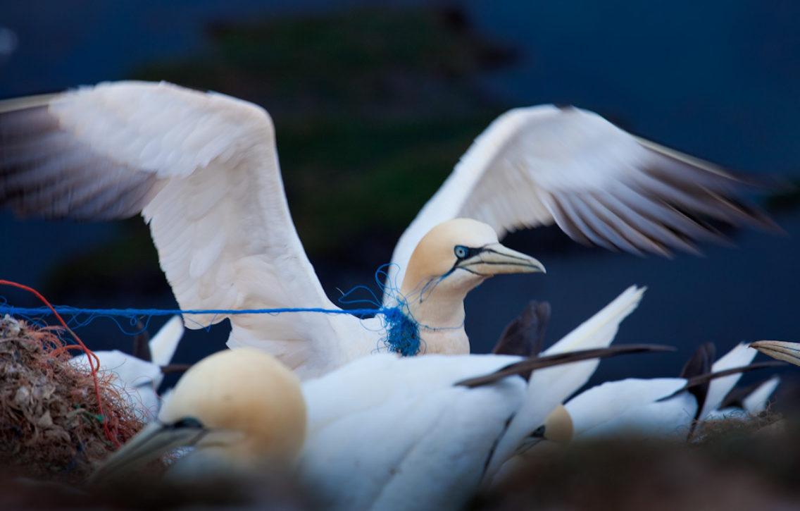 To havsuler bygger reir. En av dem har et blått plasttau rundt halsen