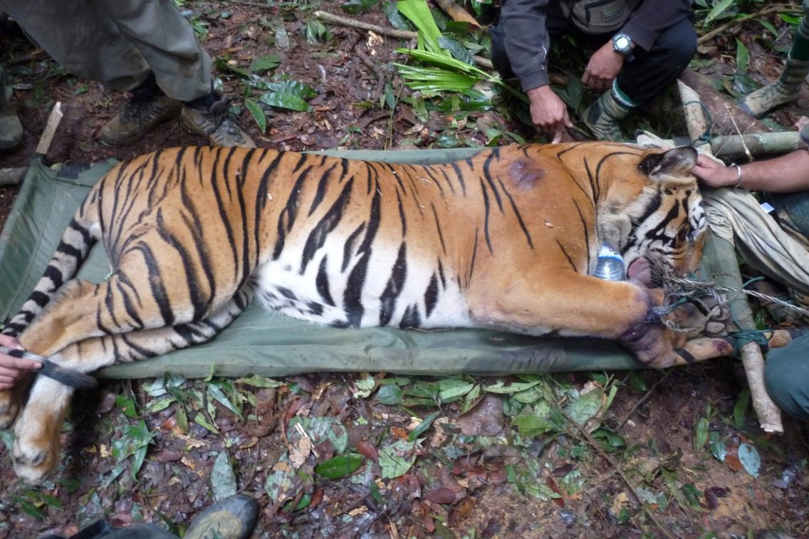 En skadd tiger fanget av en snare i Malaysia.