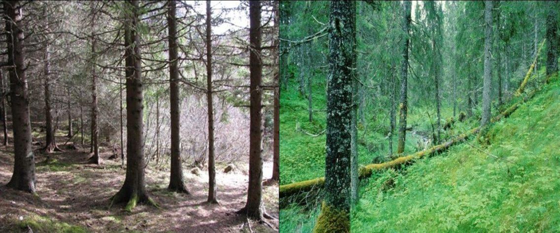 Bilde 1: Til venstre vises en typisk plantet granskog. Trærne står tett og slipper lite lys ned til bakken med lite bunnvegetasjon. Bildet til høyre viser en mer naturlig utformet skog med frodig bunnvegetasjon, variasjon og liggende død ved.