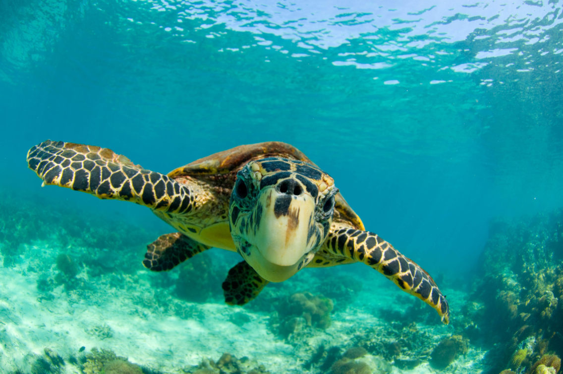 En havskilpadde under vann, som svømmer rett mot kamera.