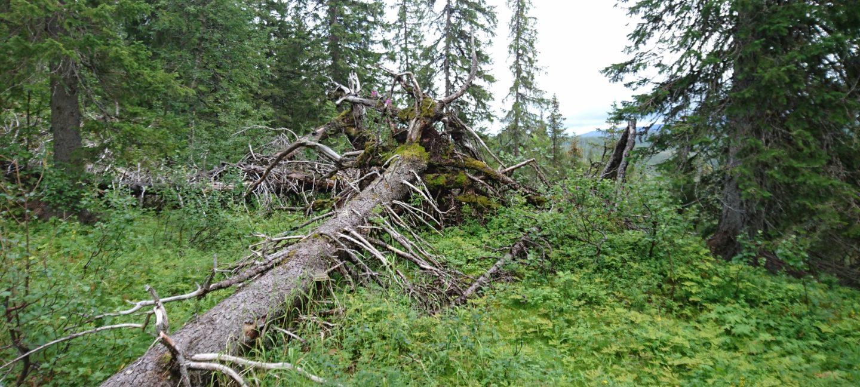 Bilde av et tre som har falt i på grønn skogbunn, med høye grantrær rundt.