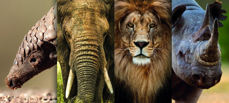 Pangolin, elefant, løve og neshorn er alle truede dyrearter som står i stor fare på grunn av koronakrisen.