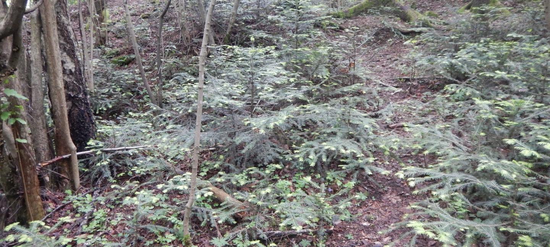 Skogbunnen i verneområdet er nesten helt dekket av småplanter av edelgran