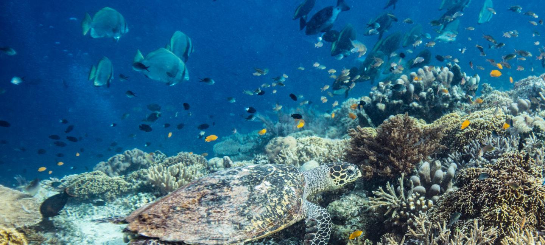 En havskilpadde (ekte karett) svømmer langs et korallrev fullt av liv