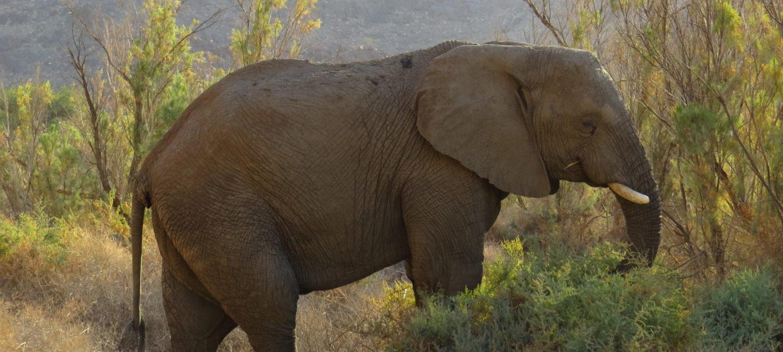 Elefant i profil