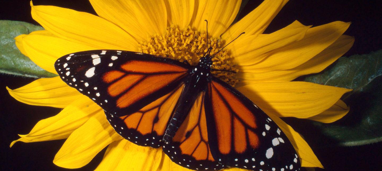 Oransje og svart sommerfugl (Monark) på gul blomst