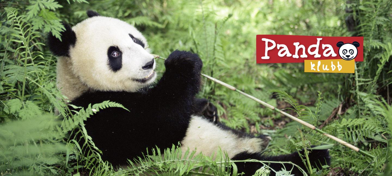 Panda ser mot oss. Sitte-ligger i skogen og holder en bambus.