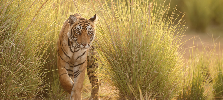 Tiger står i høyt gress og ser rett fram