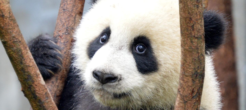 En ung panda på et tre