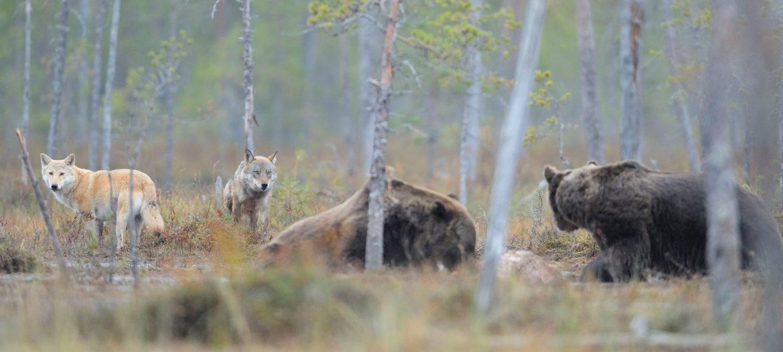 To lyse ulver med hodene vendt mot kameraet og to bjørner med ryggen til nærmer seg et kadaver fra hver sin side. En sort ravn flyr over og vil også gjerne sikre seg en godbit.