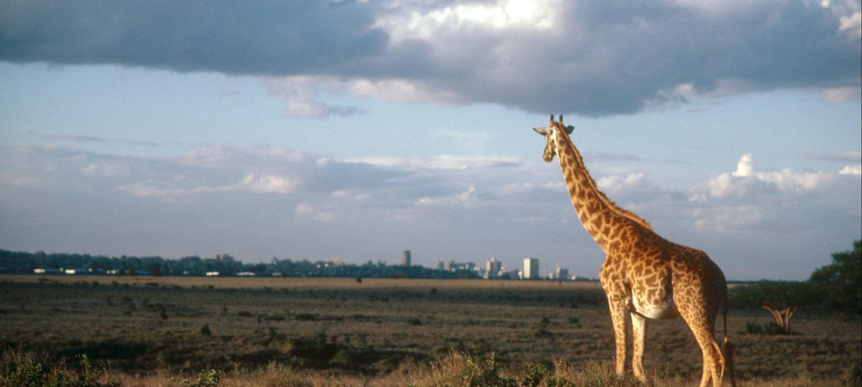 Sjiraff ser mot horisonten og en by.