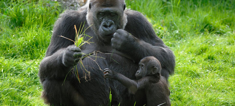 Gorillamor med ungen sin