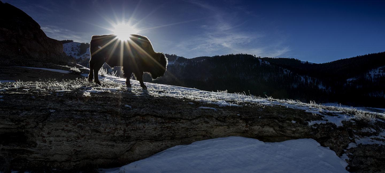 Bison i siluett mot blå himmel og skogskledde åser. Solen titter så vidt frem over bisonens rygg. Frost og snø på bakken.