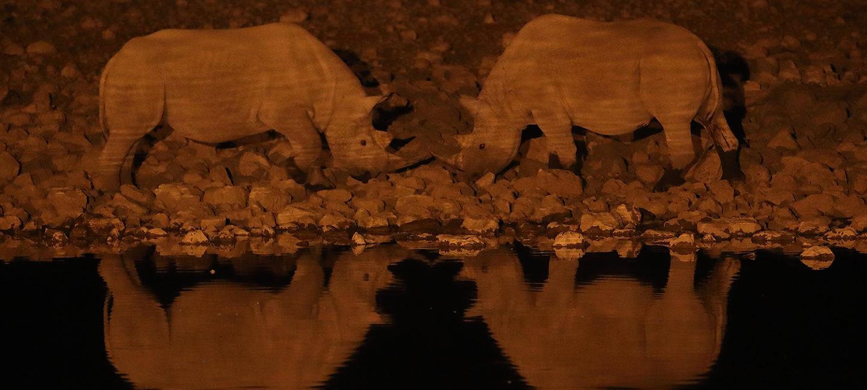 To neshorn står horn mot horn i mørket ved bredden av et vannspeil.