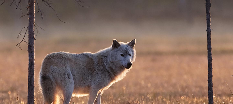 Lys ulv står i motlys på en gylden myr i kveldslys, med hodet delvis vendt mot kameraet.