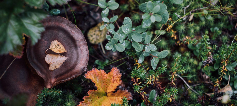 Sopp, lyng og planter av alle slag dekker skogbunnen.