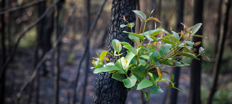 En grønn plante vokser blant forkullede trær i en brannrammet skog.