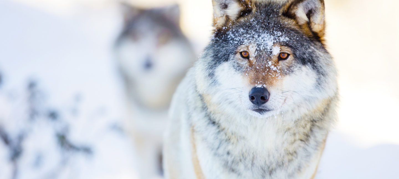 To ulver som ser mot kamera, i vinterlandskap