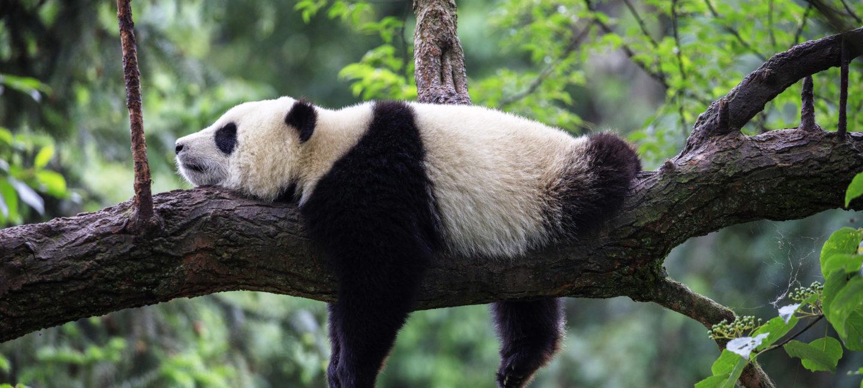 En ung panda slapper av i et tre