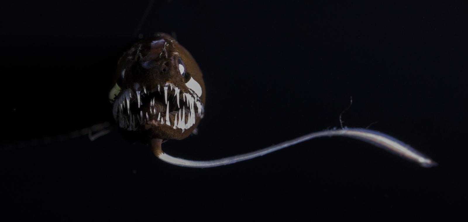 En dragefisk med store tenner