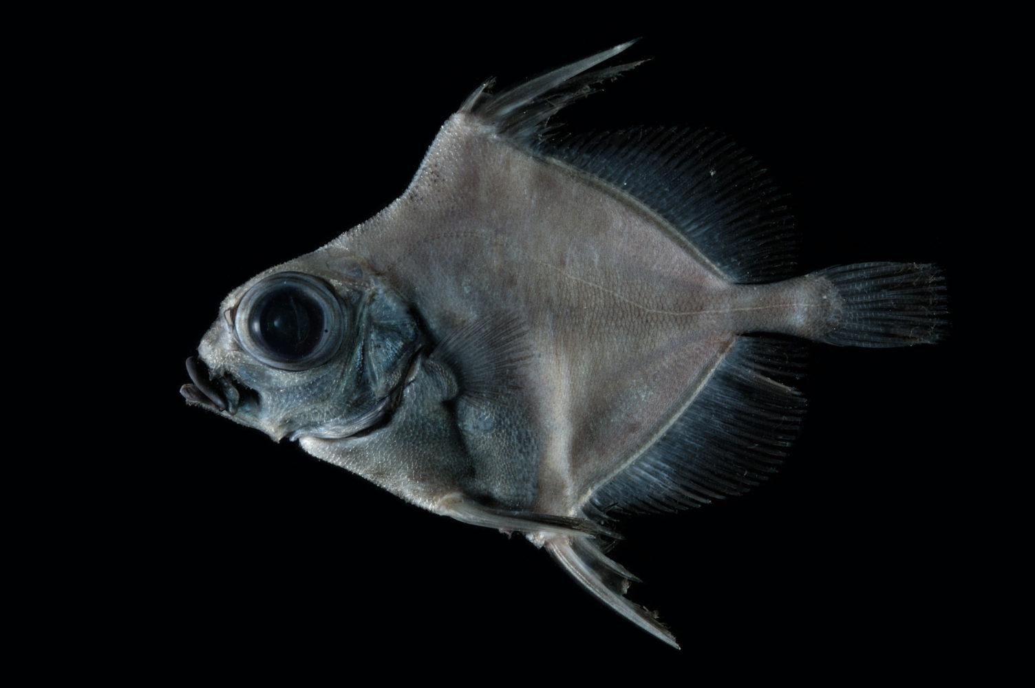 En firkantet dypvannsfisk med store øyne og pigger fra ryggen og buken