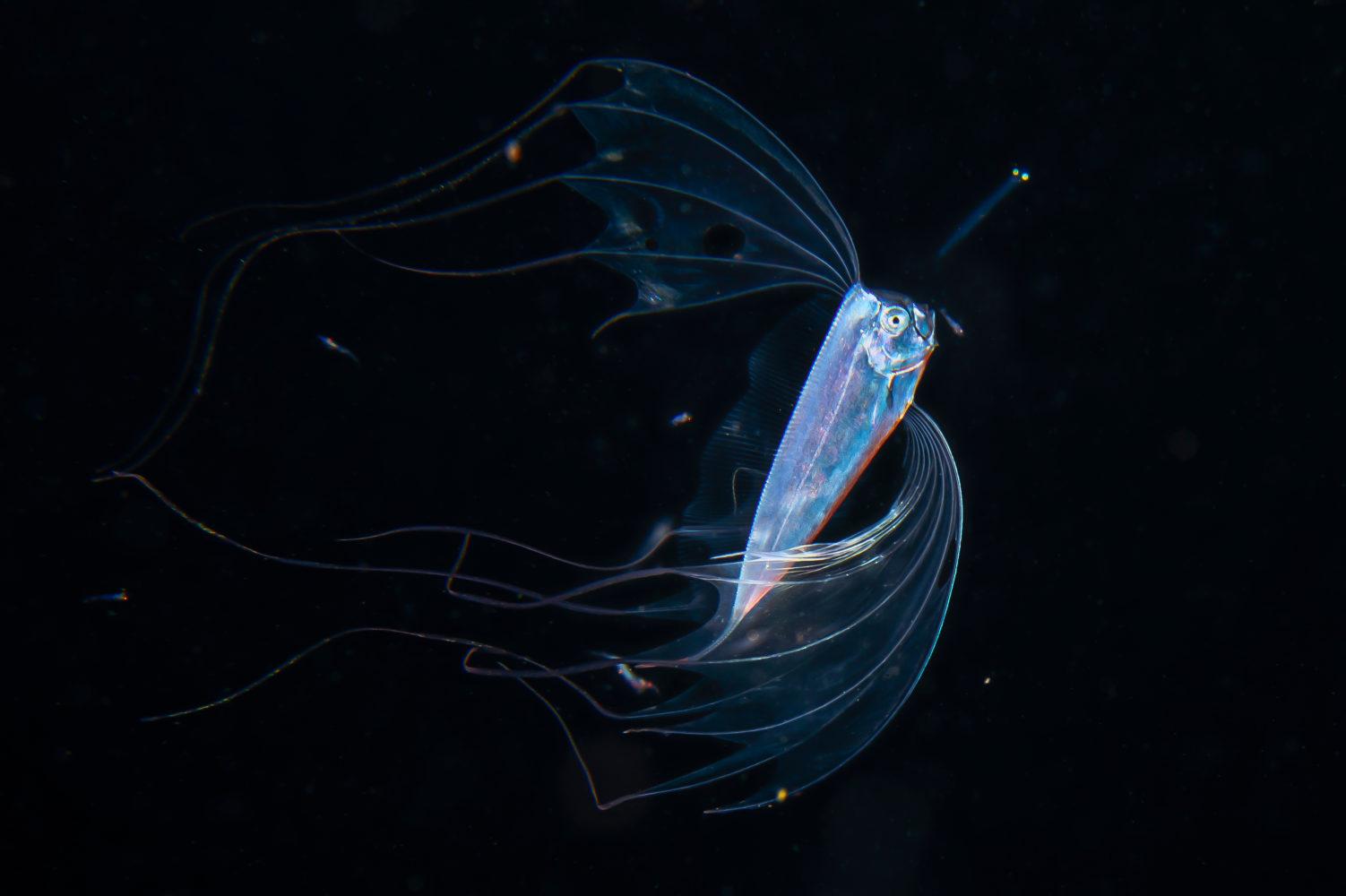 En båndfisk med metallisk kropp og lange, bølgende finner