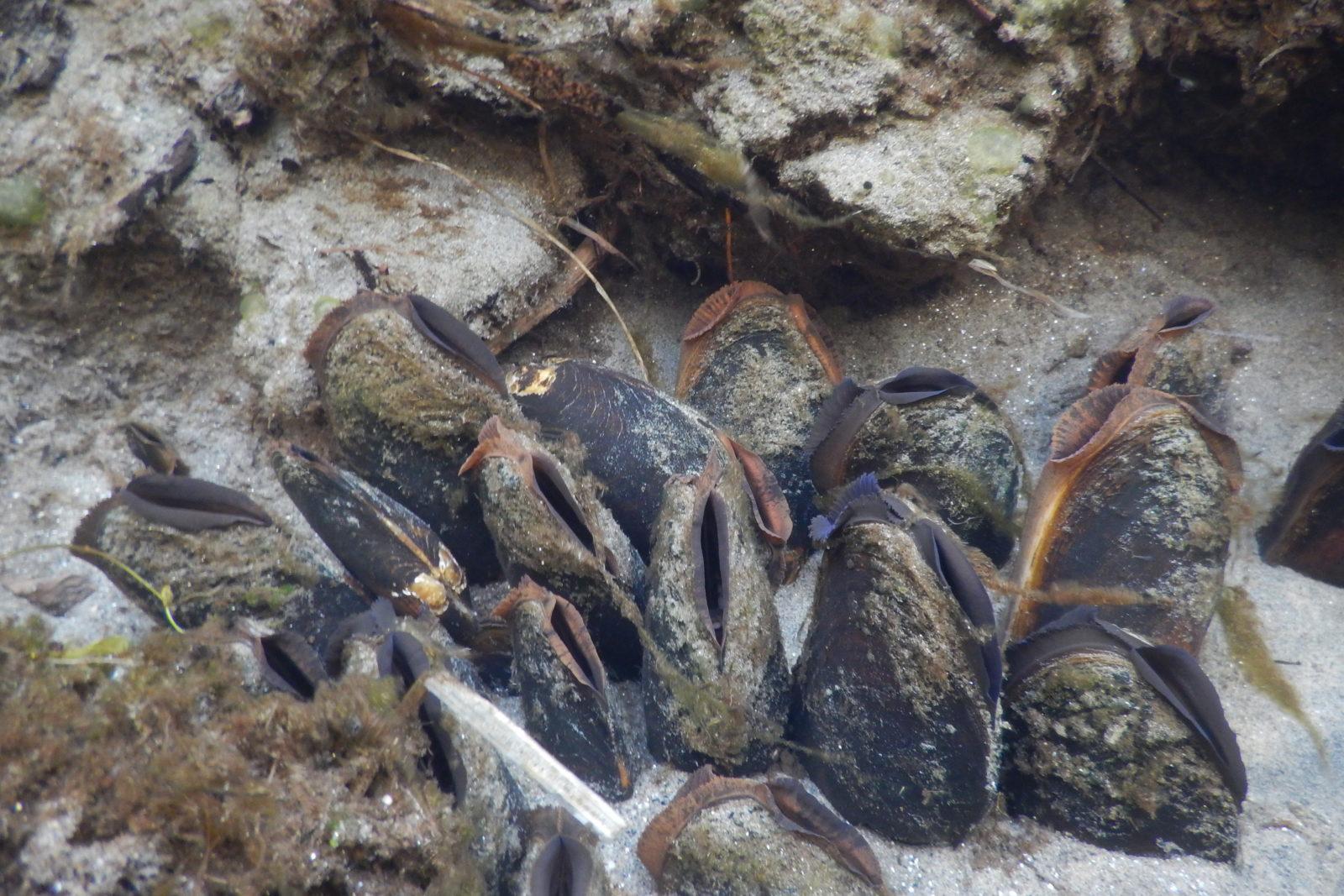 En rekke elvemuslinger stikker ut av sanden i en liten bekk, der de filtrerer vannet etter mat