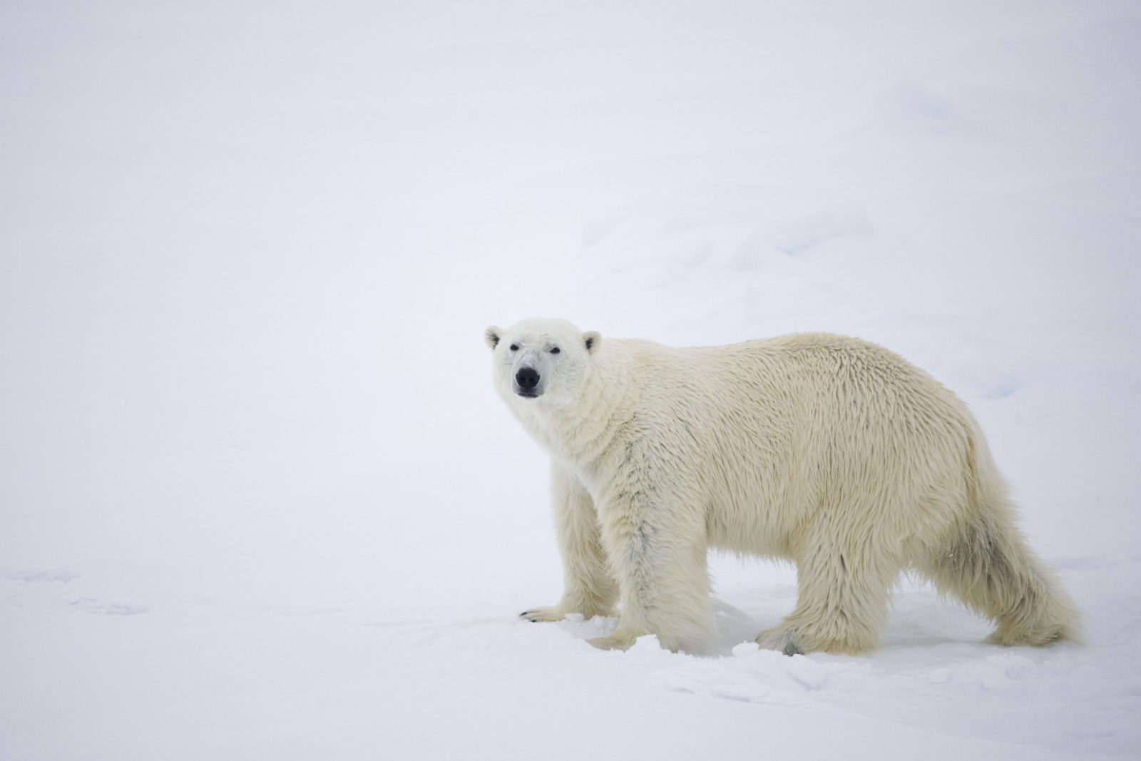 En stor, hvit isbjørn på vandring har stoppet opp et øyeblikk for å se på fotografen
