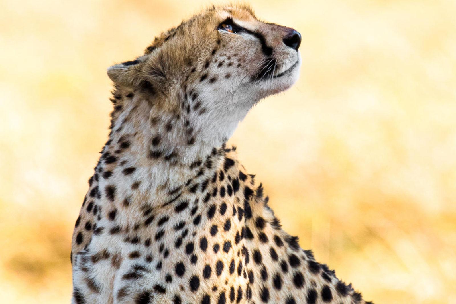 En gepard stirrer opp mot himmelen på en solfylt steppe.