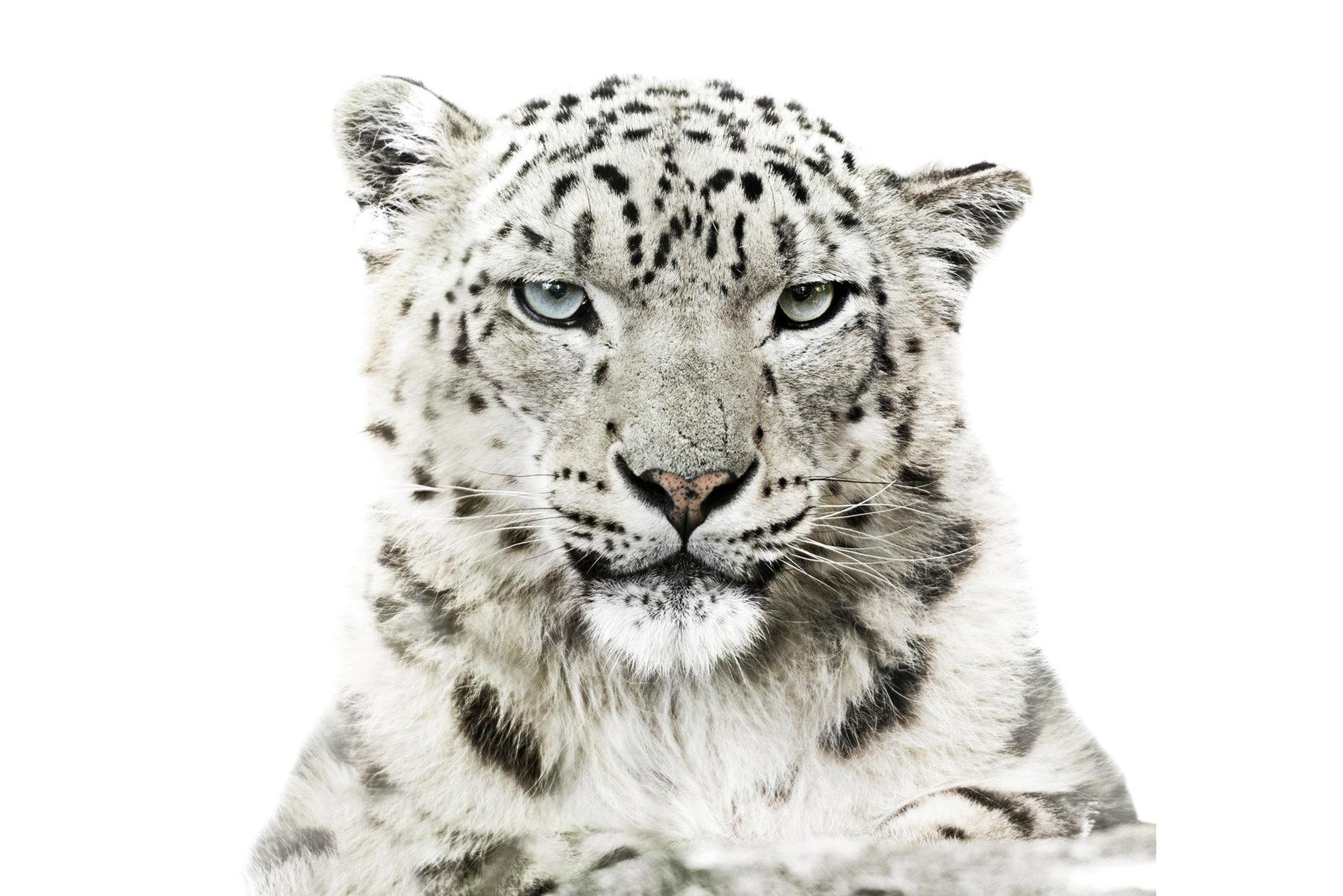 Portrett av snøleopard som ser rett på fotografen