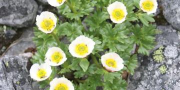 """Nærbilde av en liten hvit blomst med stort gult """"smørøye"""", i en grønn liten klase vokser i en bergsprekk."""