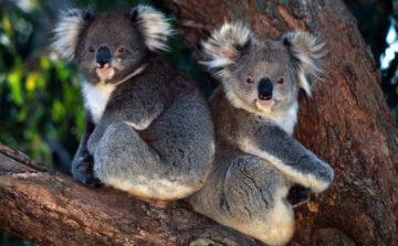 To koalaer i et eukalyptustre.