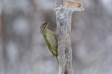 En grønn og grå hakkespett klatrer på en død trestamme
