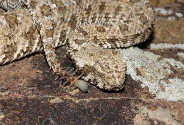 Slangen Pseudocerastes urarachnoides, med hale formet som en edderkopp.