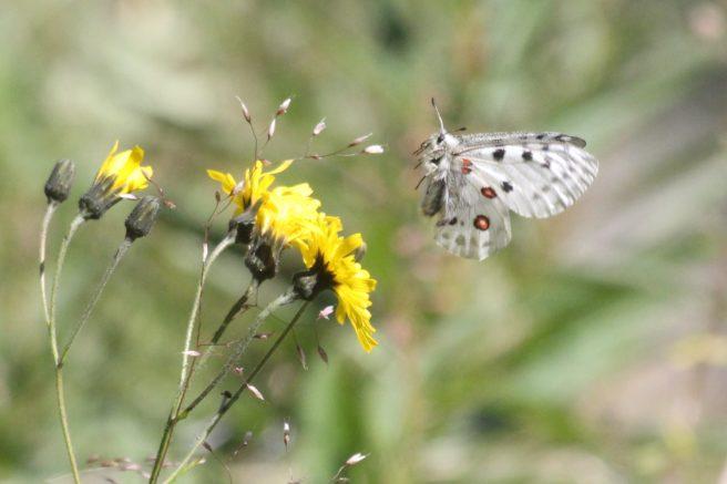 En stor, hvit sommerfugl går inn for landing på en gul blomst