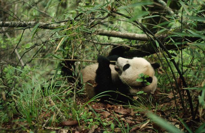 I en tett, grønn skog ligger en voksen panda på ryggen og spiser bambus