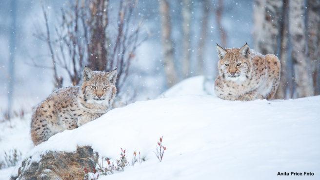 To gauper i snø