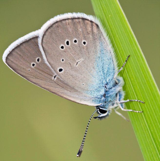 En engblåvinge sommerfugl i et gress strå