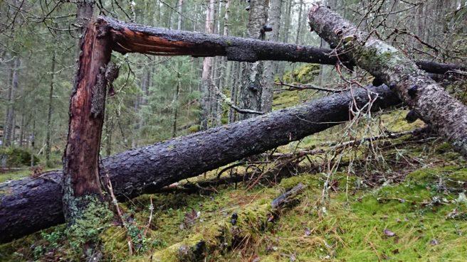 Et dødt tre har falt i skogen i Østmarka