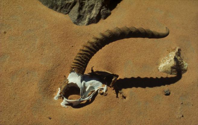 Skalle av antilope i ørkensand.