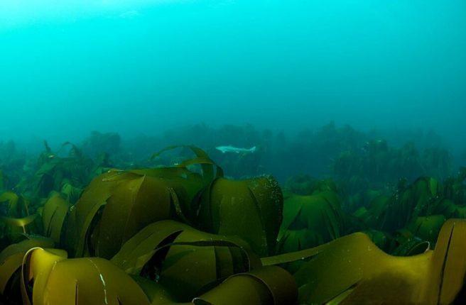 Undervannsbilde av tareskog og en pigghå.