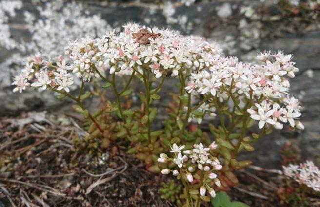 Hvitbergknapp - en hvitblomstret, sukkulent plante