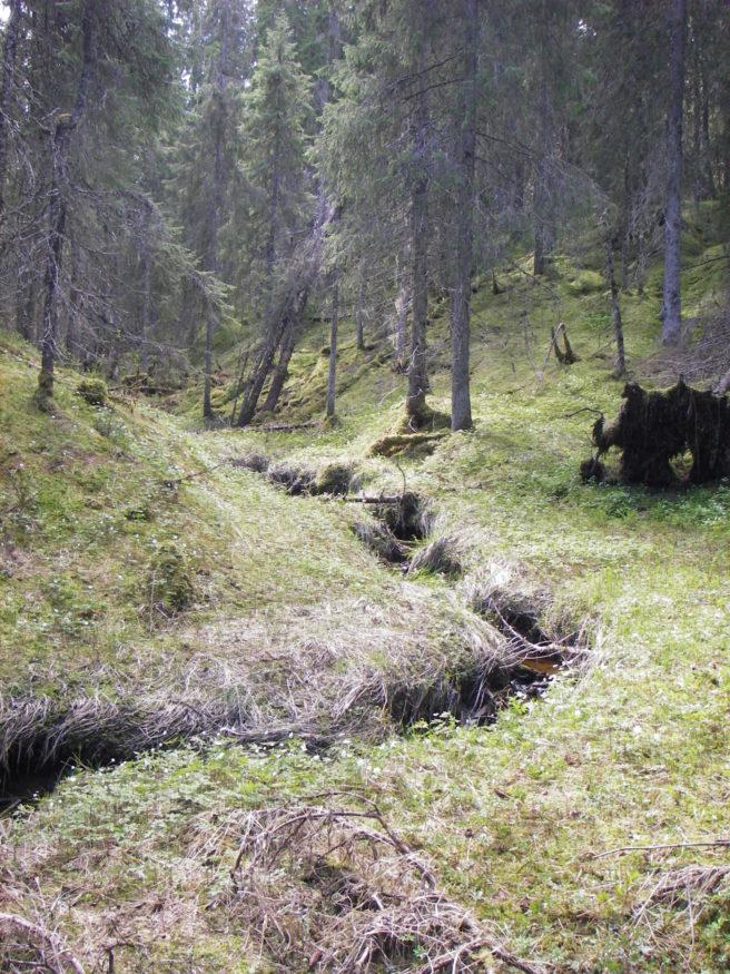 En bekk slynger seg gjennom en granskog