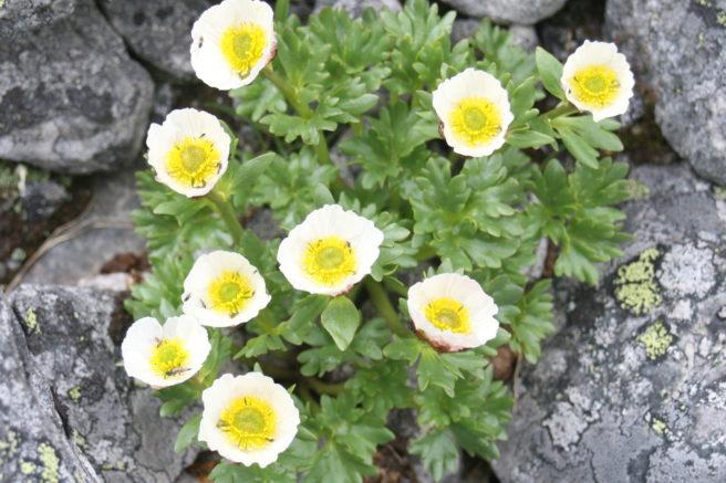 En issoleie, med mange hvite blomster, vokser frem i steinura.