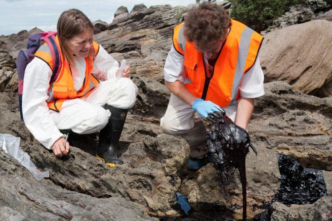 To WWF-medarbeidere prøver å redde en fugl full av oljesøl på kysten av New Zealand.