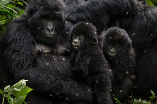 En hunngorilla og to små barn i Virunga-parken i DR Kongo