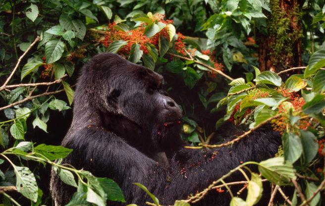 En voksen fjellgorilla som spiser bær.