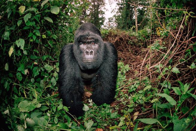 Fjellgorillaen Rafiki, som nå er blitt funnet drept, fotografert i DR Kongo i 2006.