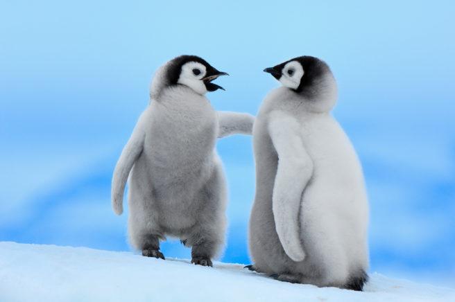 To keiserpingviner står oppå et isflak.