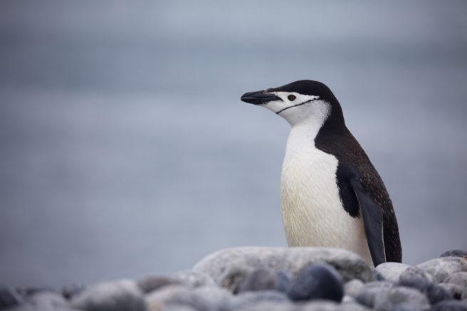 En ringpingvin stirrer utover havet i Antarktis